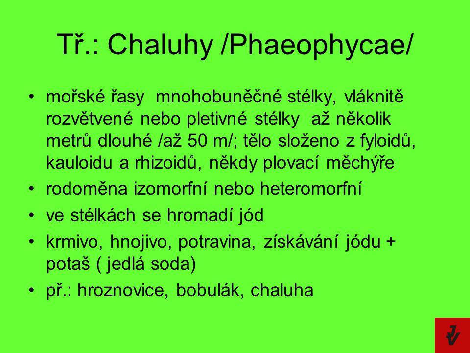 Tř.: Chaluhy /Phaeophycae/ mořské řasy  mnohobuněčné stélky, vláknitě rozvětvené nebo pletivné stélky  až několik metrů dlouhé /až 50 m/; tělo slože