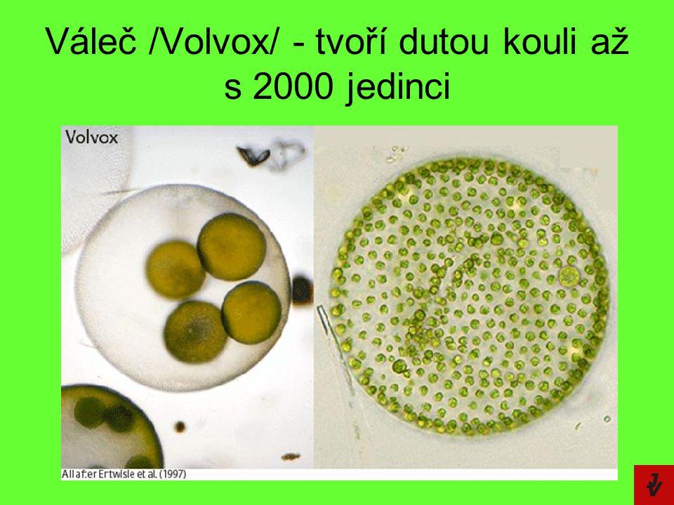 Váleč /Volvox/ - tvoří dutou kouli až s 2000 jedinci