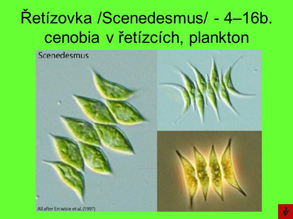 Řetízovka /Scenedesmus/ - 4–16b. cenobia v řetízcích, plankton