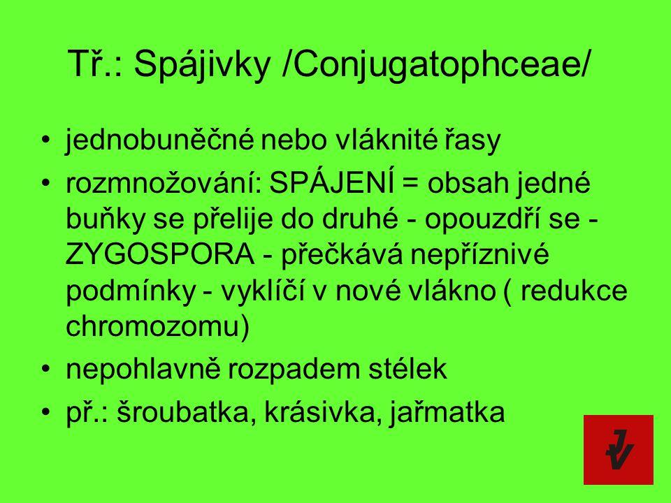 Tř.: Spájivky /Conjugatophceae/ jednobuněčné nebo vláknité řasy rozmnožování: SPÁJENÍ = obsah jedné buňky se přelije do druhé - opouzdří se - ZYGOSPOR