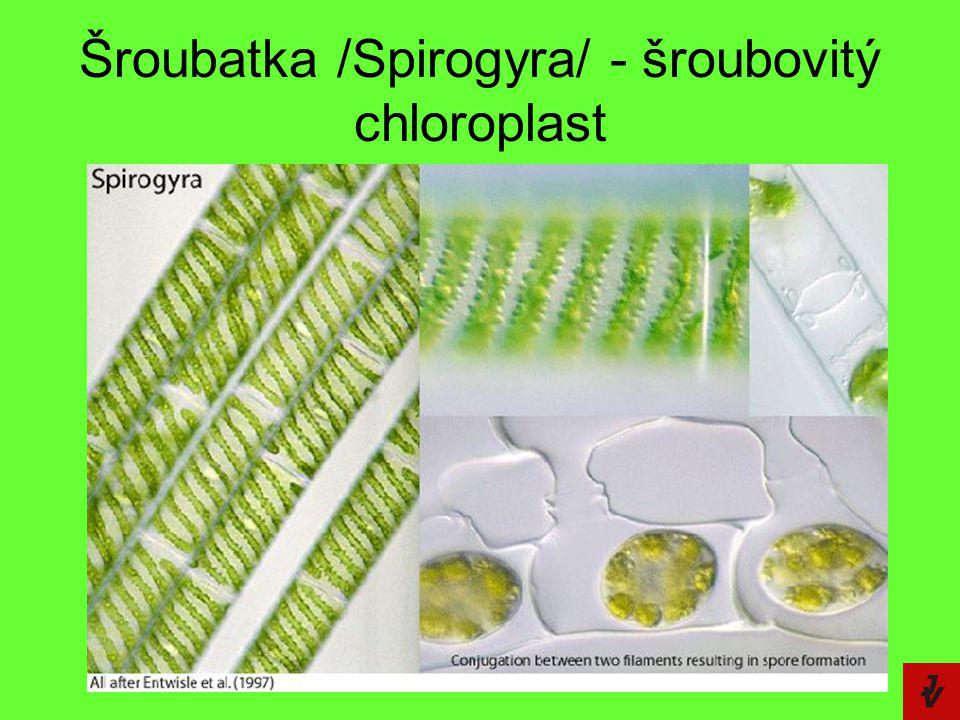 Šroubatka /Spirogyra/ - šroubovitý chloroplast