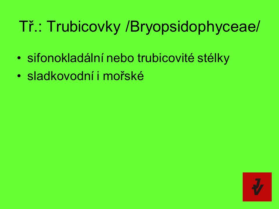 Tř.: Trubicovky /Bryopsidophyceae/ sifonokladální nebo trubicovité stélky sladkovodní i mořské