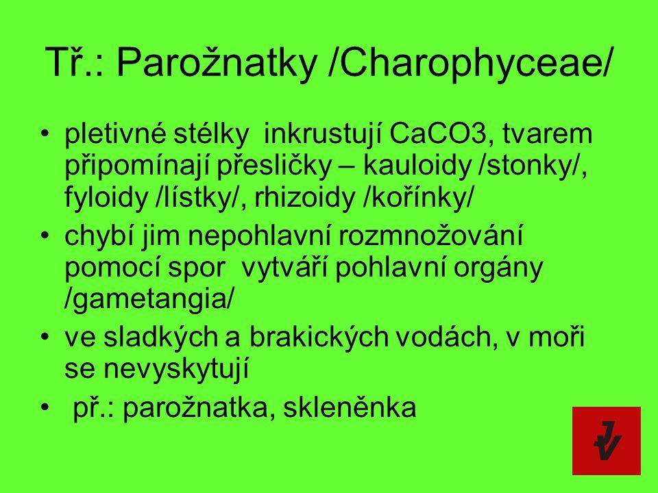 Tř.: Parožnatky /Charophyceae/ pletivné stélky  inkrustují CaCO3, tvarem připomínají přesličky – kauloidy /stonky/, fyloidy /lístky/, rhizoidy /kořín