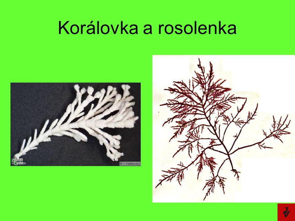 Korálovka a rosolenka