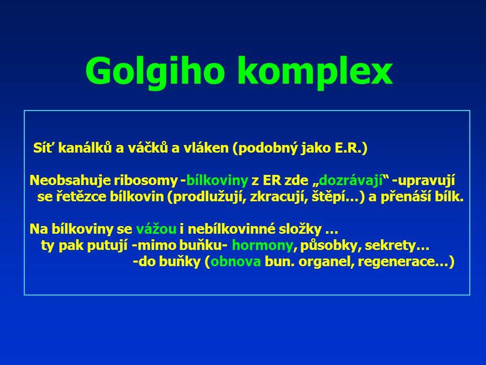 """Golgiho komplex Síť kanálků a váčků a vláken (podobný jako E.R.) Neobsahuje ribosomy -bílkoviny z ER zde """"dozrávají -upravují se řetězce bílkovin (prodlužují, zkracují, štěpí…) a přenáší bílk."""