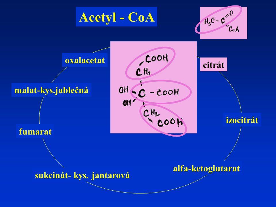 citrát izocitrát alfa-ketoglutarat fumarat malat-kys.jablečná Acetyl - CoA sukcinát- kys.