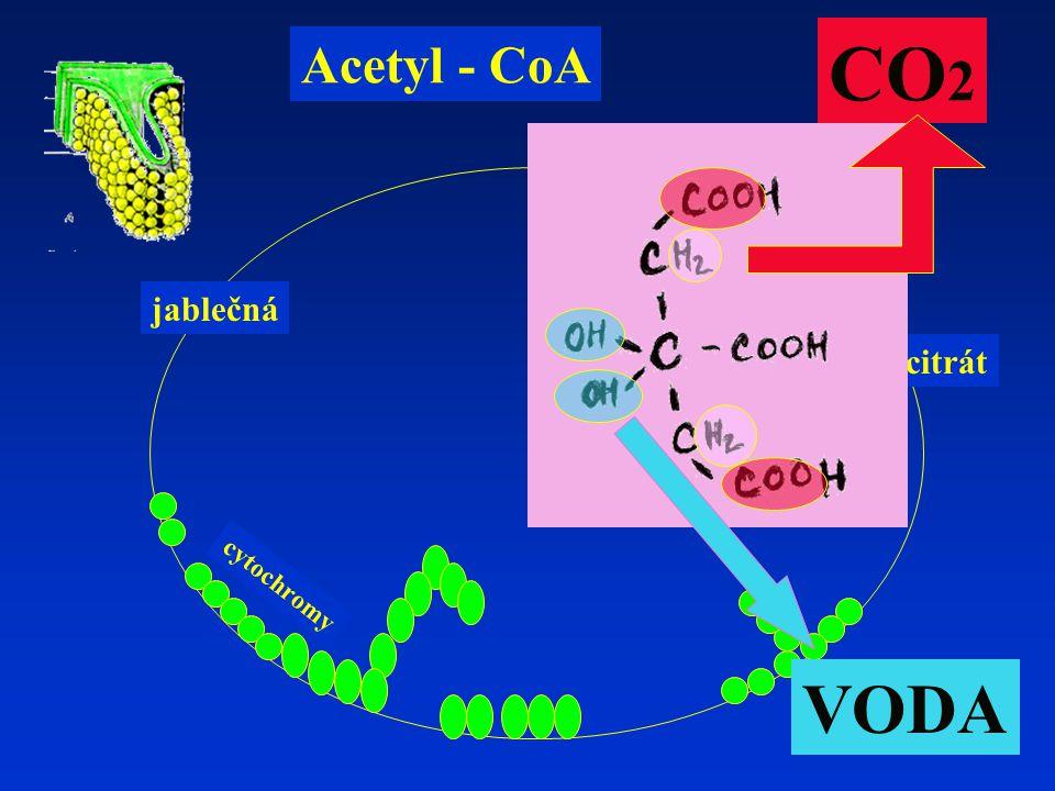 izocitrát jablečná Acetyl - CoA cytochromy CO 2 VODA