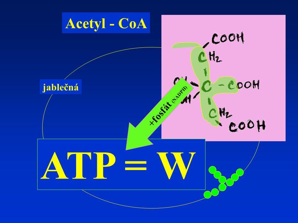 jablečná Acetyl - CoA ATP = W +fosfát (NADPH)