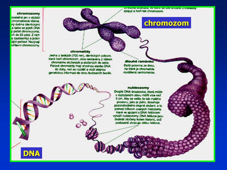 chromozom DNA