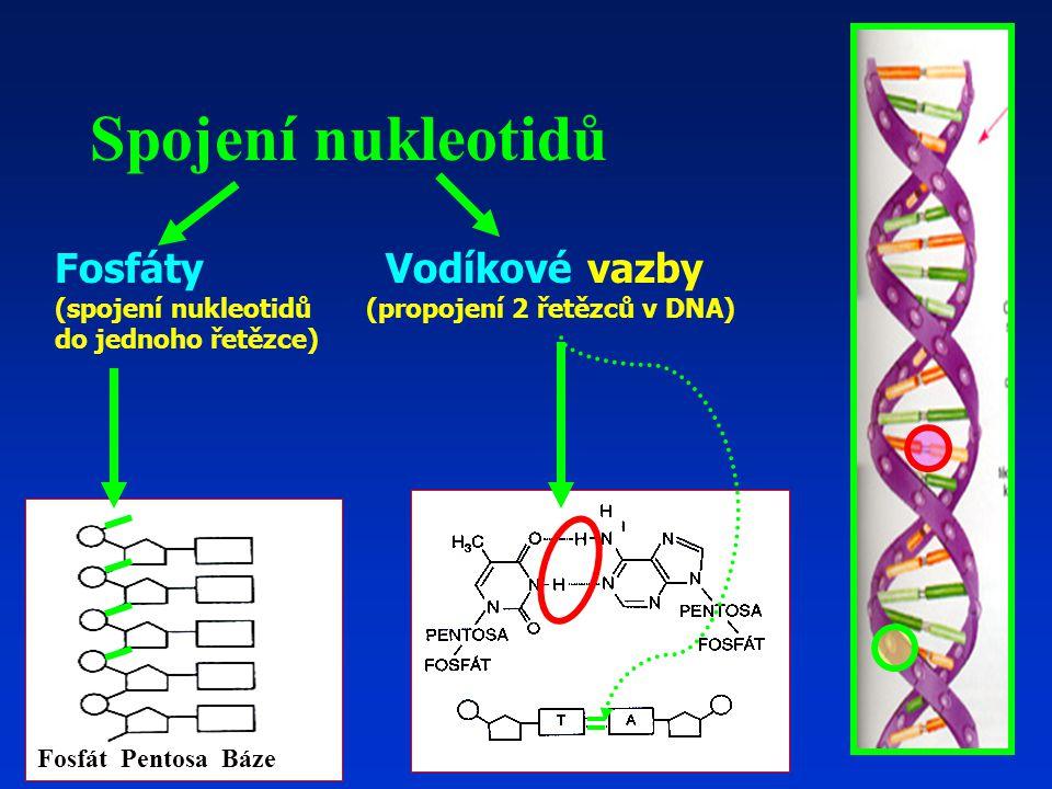 Fosfáty Vodíkové vazby (spojení nukleotidů (propojení 2 řetězců v DNA) do jednoho řetězce) Spojení nukleotidů Fosfát Pentosa Báze