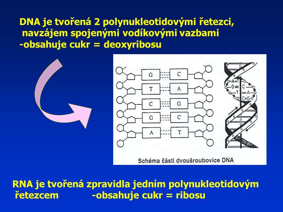 DNA je tvořená 2 polynukleotidovými řetezci, navzájem spojenými vodíkovými vazbami -obsahuje cukr = deoxyribosu RNA je tvořená zpravidla jedním polynukleotidovým řetezcem -obsahuje cukr = ribosu