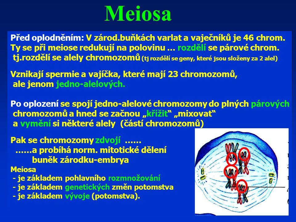 Před oplodněním: V zárod.buňkách varlat a vaječníků je 46 chrom.