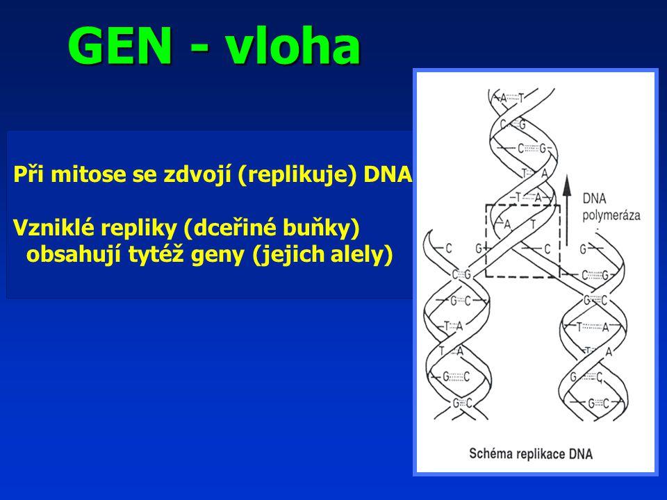 GEN - vloha GEN - vloha Při mitose se zdvojí (replikuje) DNA Vzniklé repliky (dceřiné buňky) obsahují tytéž geny (jejich alely)