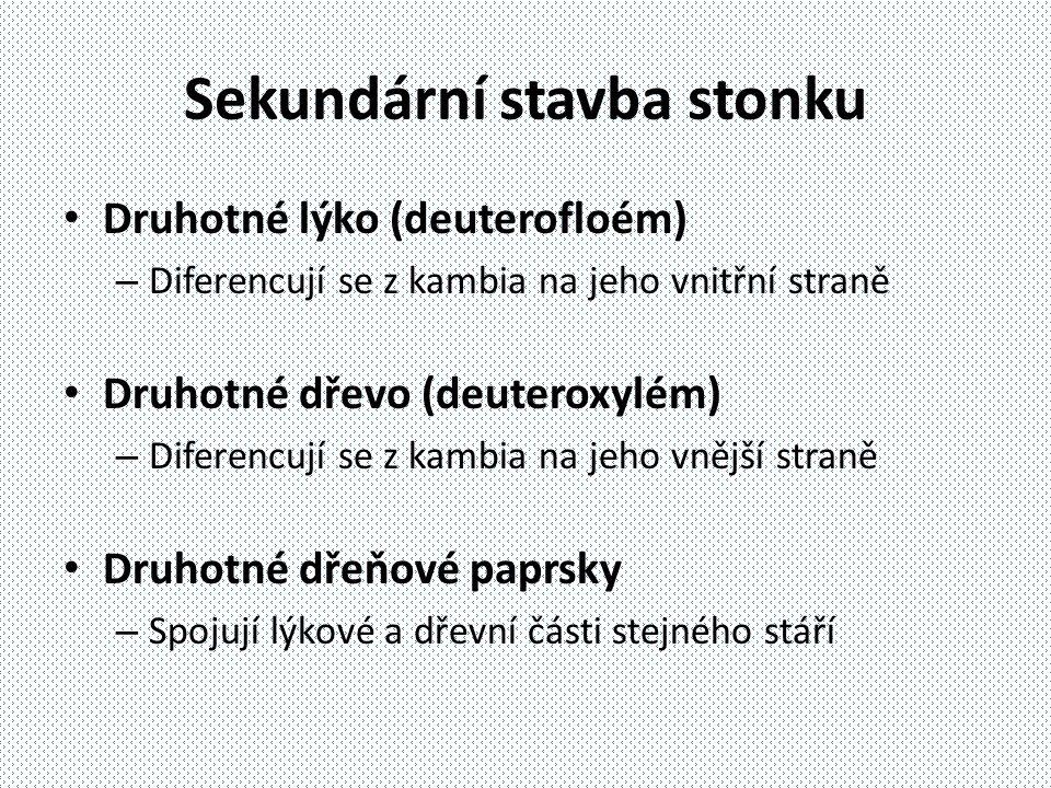 Sekundární stavba stonku Druhotné lýko (deuterofloém) – Diferencují se z kambia na jeho vnitřní straně Druhotné dřevo (deuteroxylém) – Diferencují se