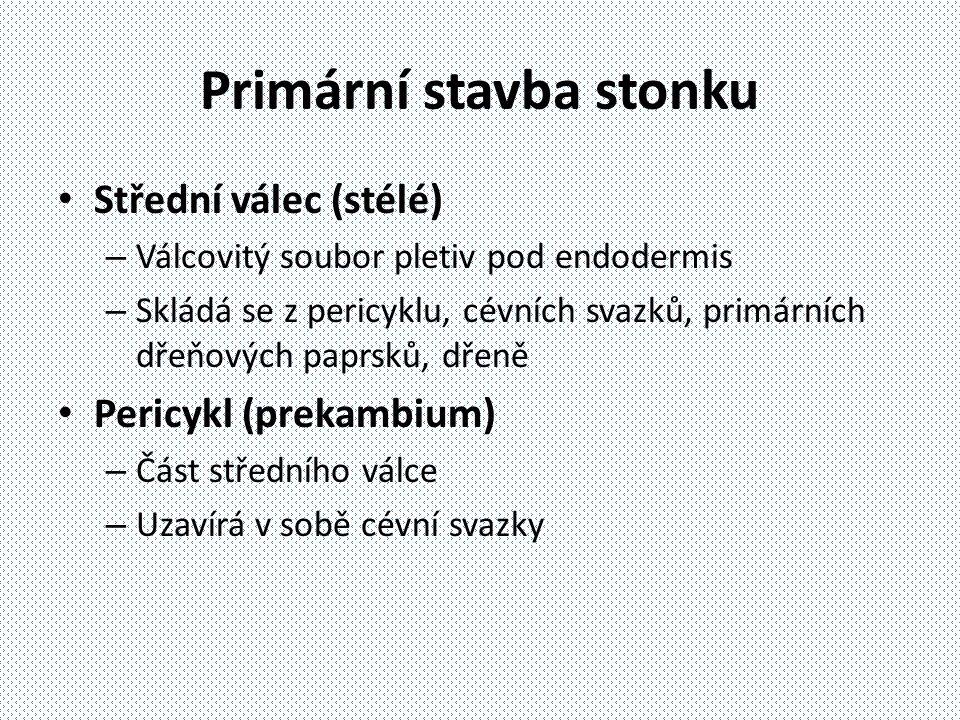 Primární stavba stonku Střední válec (stélé) – Válcovitý soubor pletiv pod endodermis – Skládá se z pericyklu, cévních svazků, primárních dřeňových pa