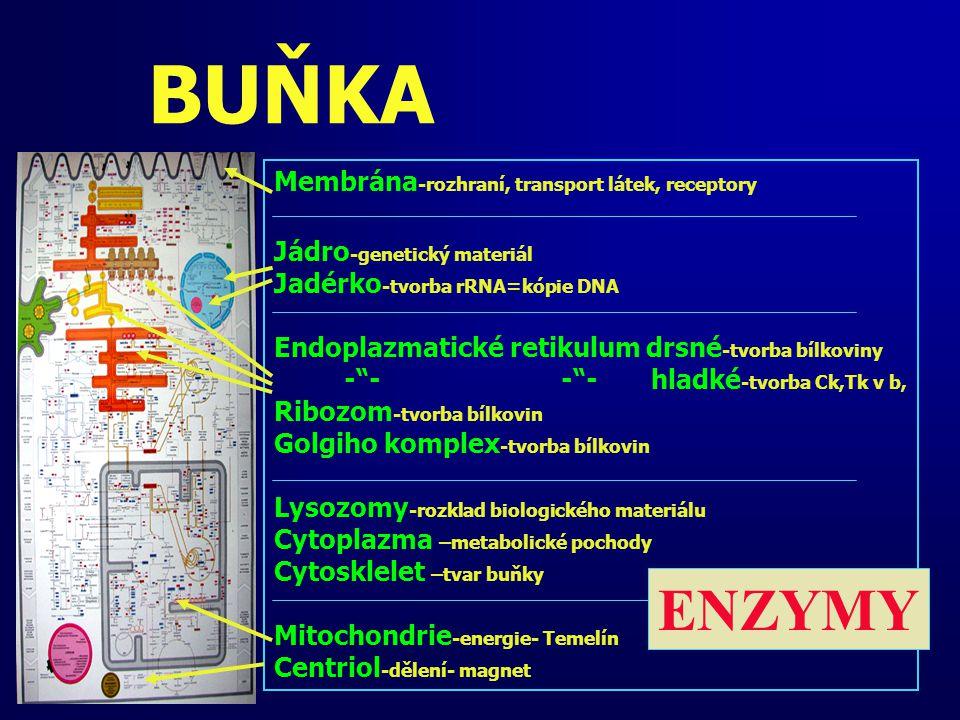 BUŇKA Membrána -rozhraní, transport látek, receptory Jádro -genetický materiál Jadérko -tvorba rRNA=kópie DNA Endoplazmatické retikulum drsné -tvorba