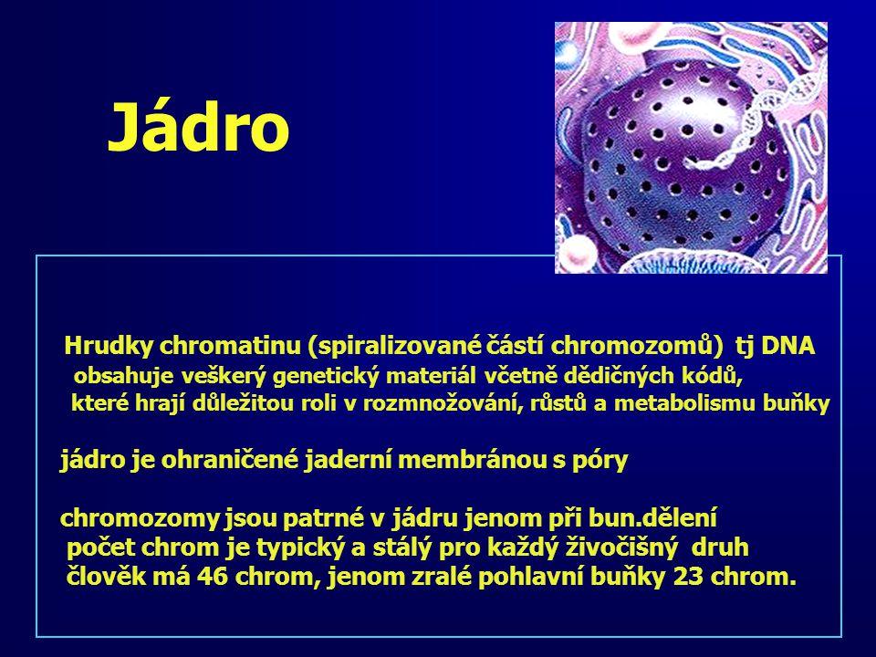 Jádro Hrudky chromatinu (spiralizované částí chromozomů) tj DNA obsahuje veškerý genetický materiál včetně dědičných kódů, které hrají důležitou roli v rozmnožování, růstů a metabolismu buňky jádro je ohraničené jaderní membránou s póry chromozomy jsou patrné v jádru jenom při bun.dělení počet chrom je typický a stálý pro každý živočišný druh člověk má 46 chrom, jenom zralé pohlavní buňky 23 chrom.