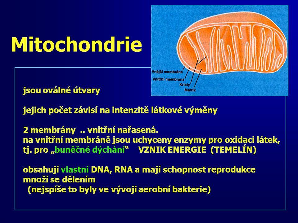 Mitochondrie jsou oválné útvary jejich počet závisí na intenzitě látkové výměny 2 membrány.. vnitřní nařasená. na vnitřní membráně jsou uchyceny enzym
