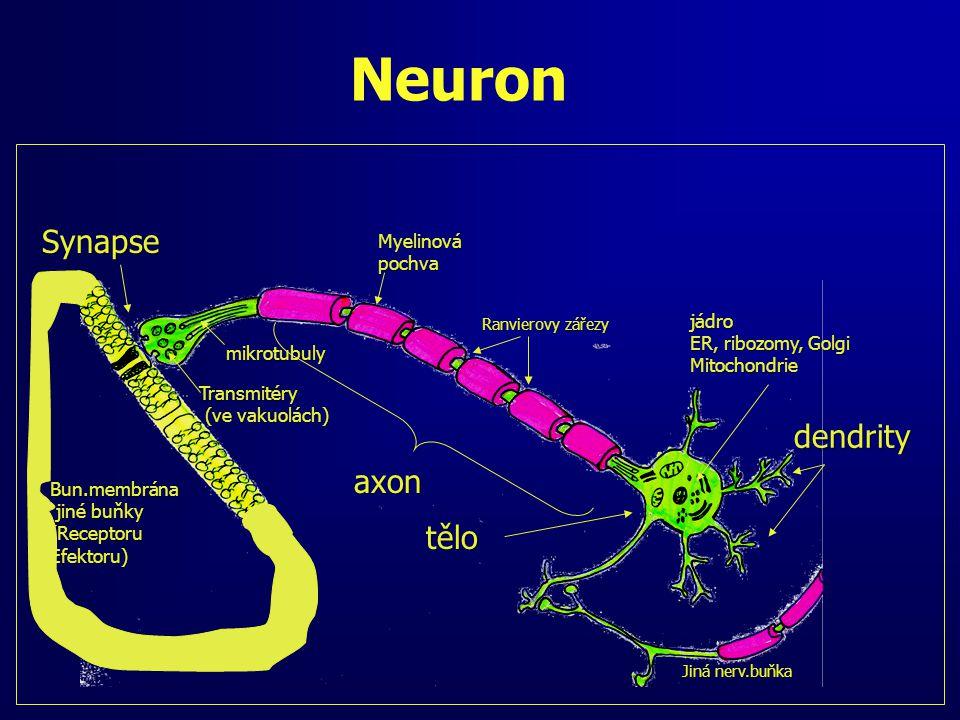Neuron Jiná nerv.buňka Ranvierovy zářezy Transmitéry (ve vakuolách) (ve vakuolách) mikrotubuly dendrity axon Myelinovápochva jádro ER, ribozomy, Golgi Mitochondrie Synapse Bun.membrána jiné buňky jiné buňky(ReceptoruEfektoru) tělo