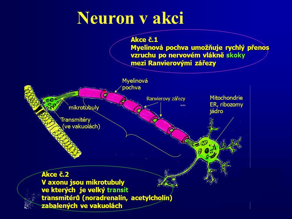 Neuron v akci Ranvierovy zářezy Transmitéry (ve vakuolách) (ve vakuolách) mikrotubuly Akce č.2 V axonu jsou mikrotubuly ve kterých je velký transit transmitérů (noradrenalín, acetylcholín) zabalených ve vakuolách Myelinovápochva Mitochondrie ER, ribozomy jádro Akce č.1 Myelinová pochva umožňuje rychlý přenos vzruchu po nervovém vlákně skoky mezi Ranvierovými zářezy