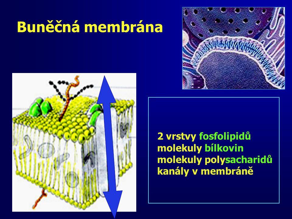 Buněčná membrána 2 vrstvy fosfolipidů molekuly bílkovin molekuly polysacharidů kanály v membráně