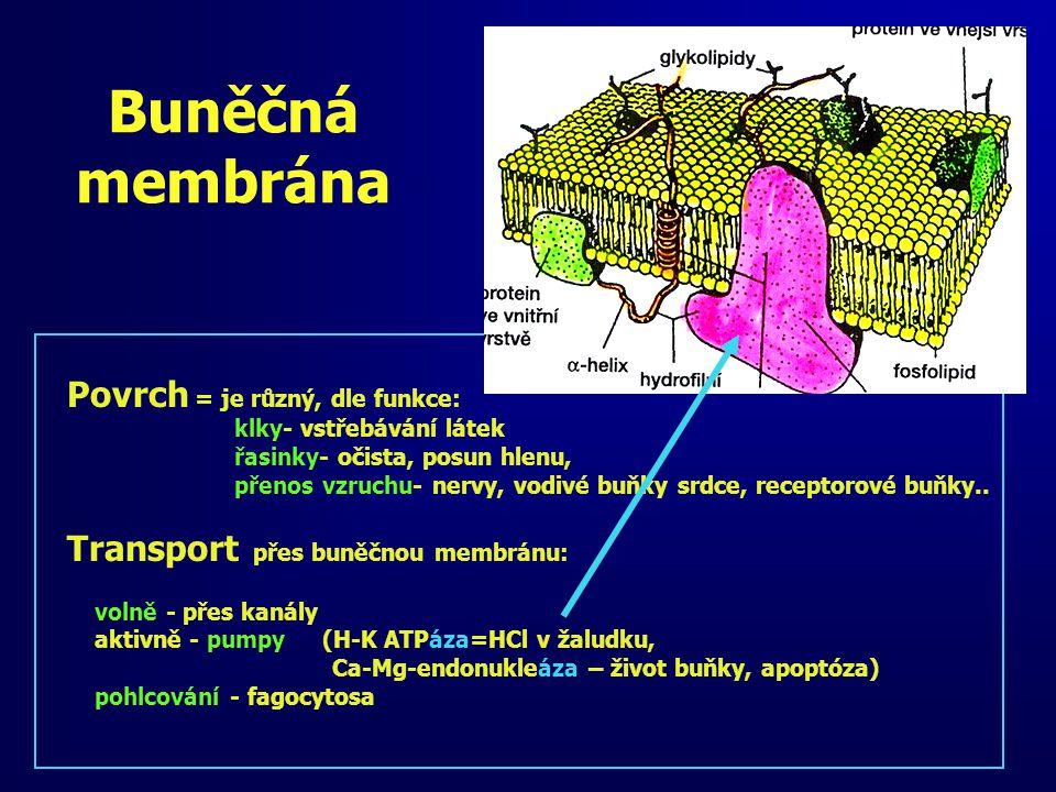 Buněčná membrána Povrch = je různý, dle funkce: klky- vstřebávání látek řasinky- očista, posun hlenu, přenos vzruchu- nervy, vodivé buňky srdce, recep