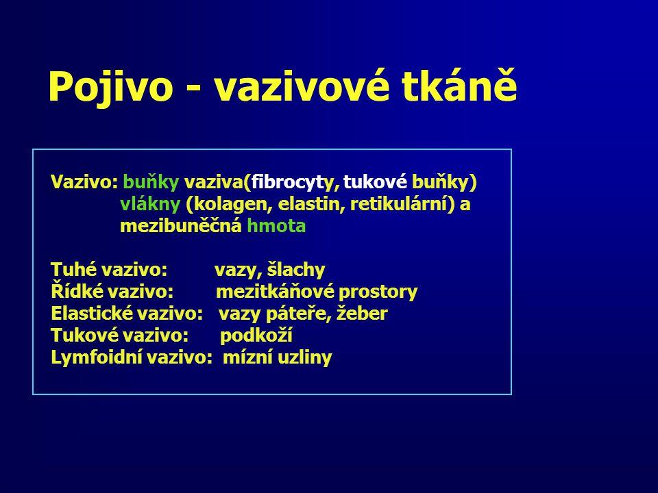 Pojivo - vazivové tkáně Vazivo: buňky vaziva(fibrocyty, tukové buňky) vlákny (kolagen, elastin, retikulární) a mezibuněčná hmota Tuhé vazivo: vazy, šl
