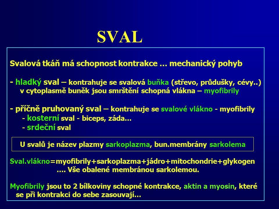 SVAL Svalová tkáň má schopnost kontrakce … mechanický pohyb - hladký sval – kontrahuje se svalová buňka (střevo, průdušky, cévy..) v cytoplasmě buněk