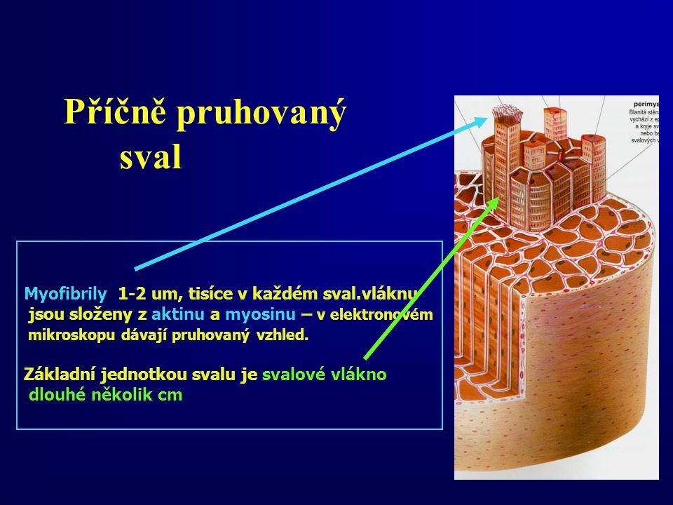 Příčně pruhovaný sval Myofibrily 1-2 um, tisíce v každém sval.vláknu jsou složeny z aktinu a myosinu – v elektronovém mikroskopu dávají pruhovaný vzhl