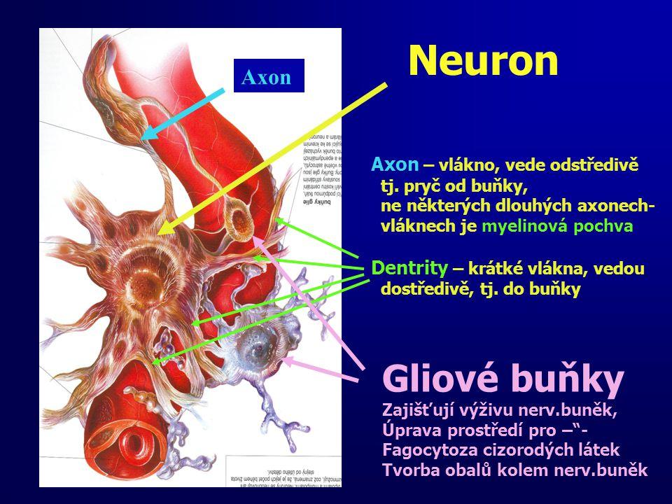 Neuron Axon – vlákno, vede odstředivě tj. pryč od buňky, ne některých dlouhých axonech- vláknech je myelinová pochva Dentrity – krátké vlákna, vedou d