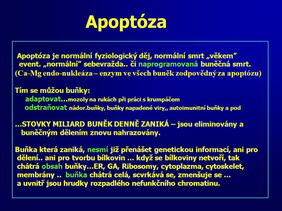 """Apoptóza Apoptóza je normální fyziologický děj, normální smrt """"věkem"""" event. """"normální"""" sebevražda.. či naprogramovaná buněčná smrt. (Ca-Mg endo-nukle"""