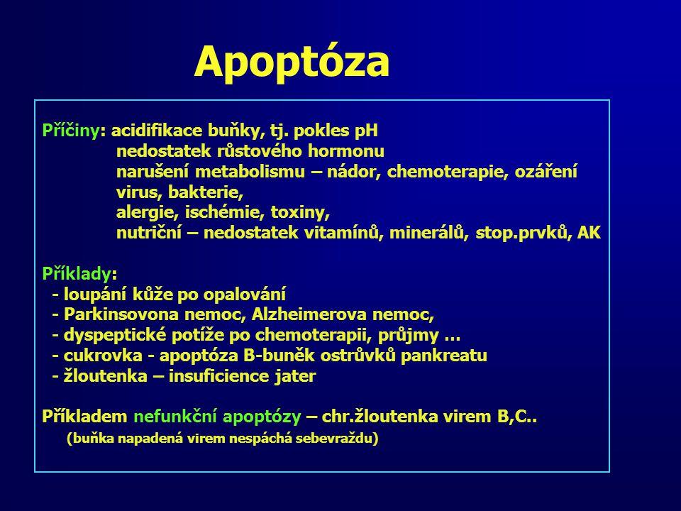 Apoptóza Příčiny: acidifikace buňky, tj. pokles pH nedostatek růstového hormonu narušení metabolismu – nádor, chemoterapie, ozáření virus, bakterie, a