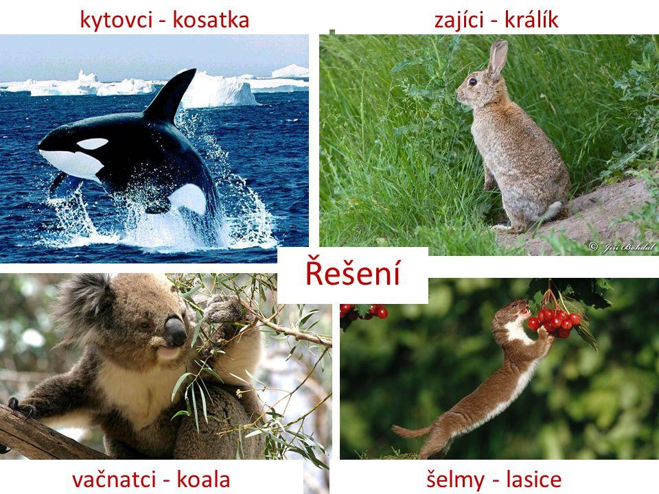 Řešení kytovci - kosatkazajíci - králík vačnatci - koalašelmy - lasice