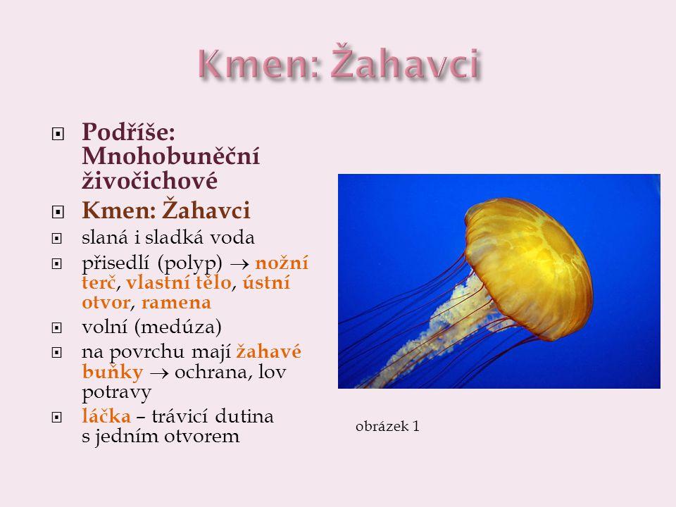  Podříše: Mnohobuněční živočichové  Kmen: Žahavci  slaná i sladká voda  přisedlí (polyp)  nožní terč, vlastní tělo, ústní otvor, ramena  volní (