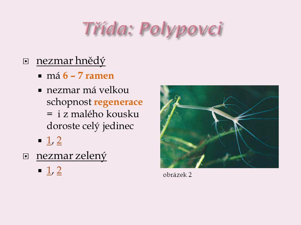 nezmar hnědý  má 6 – 7 ramen  nezmar má velkou schopnost regenerace = i z malého kousku doroste celý jedinec  1, 2 12  nezmar zelený  1, 2 12 o
