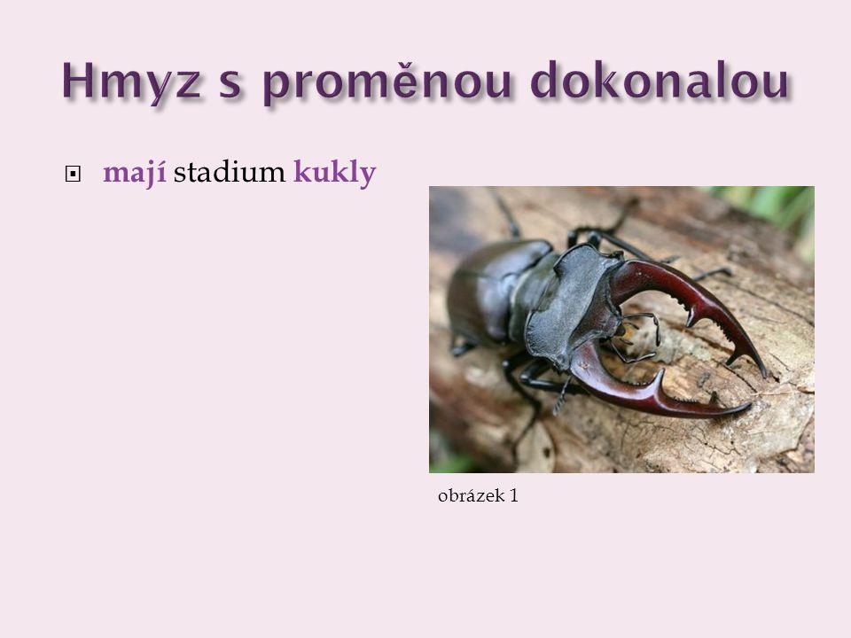 Hmyz s proměnou dokonalou  mají stadium kukly