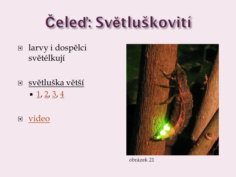 larvy i dospělci světélkují  světluška větší  1, 2, 3, 4 1234  video video obrázek 21