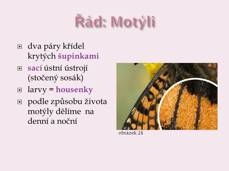  dva páry křídel krytých šupinkami  sací ústní ústrojí (stočený sosák)  larvy = housenky  podle způsobu života motýly dělíme na denní a noční obrá