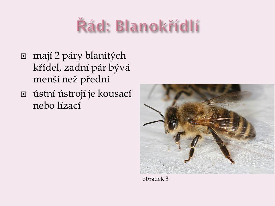 včela medonosná  žijí ve společenstvu – včelstvu, dorozumívají se pachem a tzv.