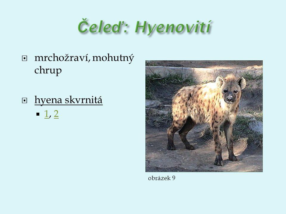  mrchožraví, mohutný chrup  hyena skvrnitá  1, 2 12 obrázek 9