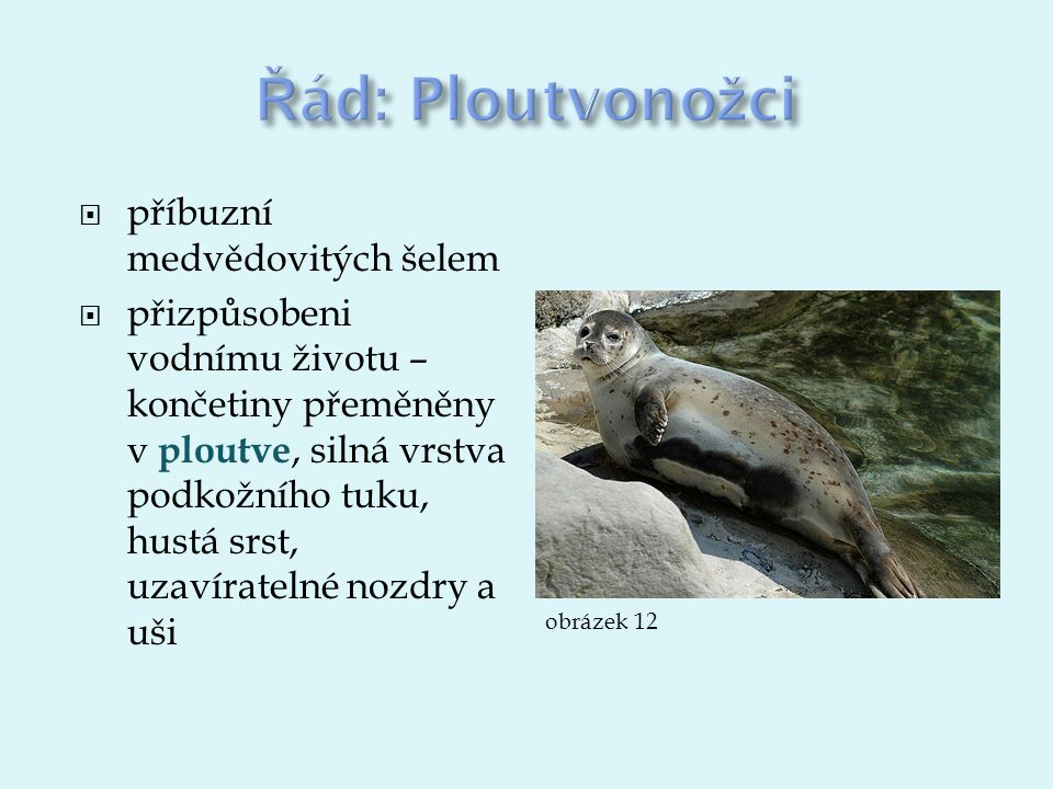  příbuzní medvědovitých šelem  přizpůsobeni vodnímu životu – končetiny přeměněny v ploutve, silná vrstva podkožního tuku, hustá srst, uzavíratelné nozdry a uši obrázek 12