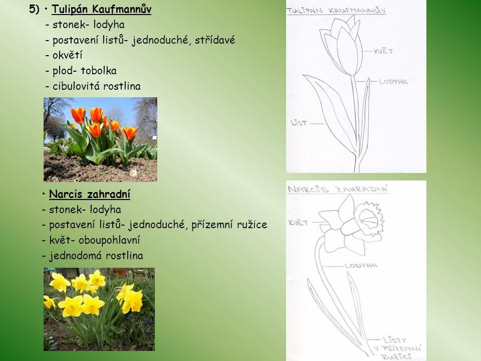 5) Tulipán Kaufmannův - stonek- lodyha - postavení listů- jednoduché, střídavé - okvětí - plod- tobolka - cibulovitá rostlina Narcis zahradní - stonek- lodyha - postavení listů- jednoduché, přízemní ružice - květ- oboupohlavní - jednodomá rostlina