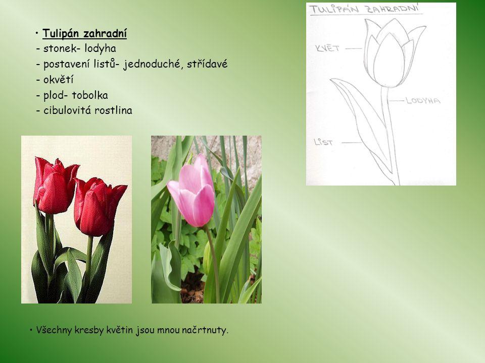 Tulipán zahradní - stonek- lodyha - postavení listů- jednoduché, střídavé - okvětí - plod- tobolka - cibulovitá rostlina Všechny kresby květin jsou mnou načrtnuty.