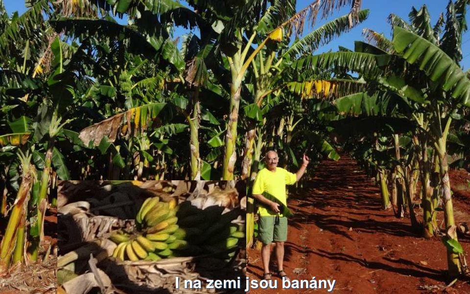 I na zemi jsou banány