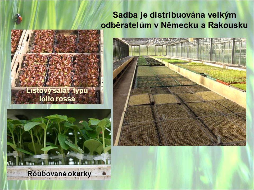 Sadba je distribuována velkým odběratelům v Německu a Rakousku Listový salát typu lollo rossa Roubované okurky
