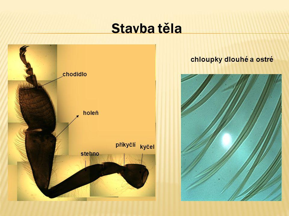 Stavba těla chloupky dlouhé a ostré kyčel příkyčlí stehno holeň chodidlo
