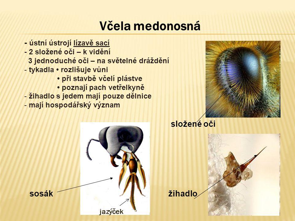 Včela medonosná - ústní ústrojí lízavě sací - 2 složené oči – k vidění 3 jednoduché oči – na světelné dráždění - tykadla rozlišuje vůni při stavbě vče