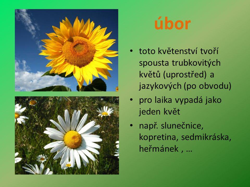 úbor toto květenství tvoří spousta trubkovitých květů (uprostřed) a jazykových (po obvodu) pro laika vypadá jako jeden květ např.