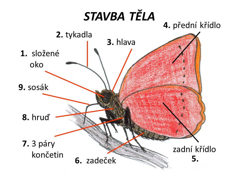 STAVBA TĚLA tykadla složené oko přední křídlo zadní křídlo sosák 3 páry končetin hlava hruď zadeček 5. 1. 2. 3. 4. 6. 7. 8. 9.