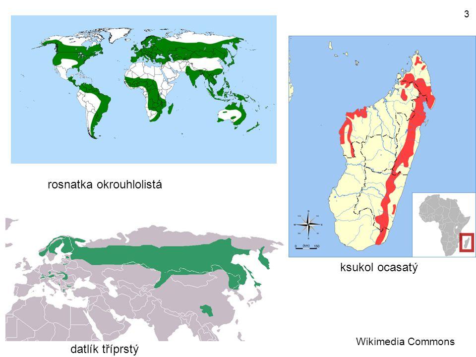 datlík tříprstý ksukol ocasatý rosnatka okrouhlolistá Wikimedia Commons 3